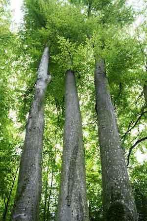 drei nebeneinander stehende Bäume im Wald